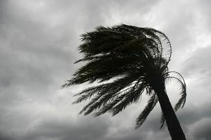 palm tree bent hurricane EDITED*304