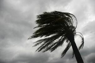 palm tree bent hurricane EDITED*304
